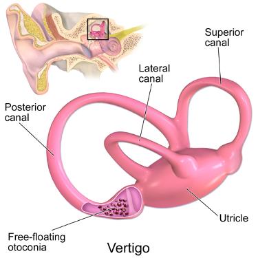 inner-ear diagram